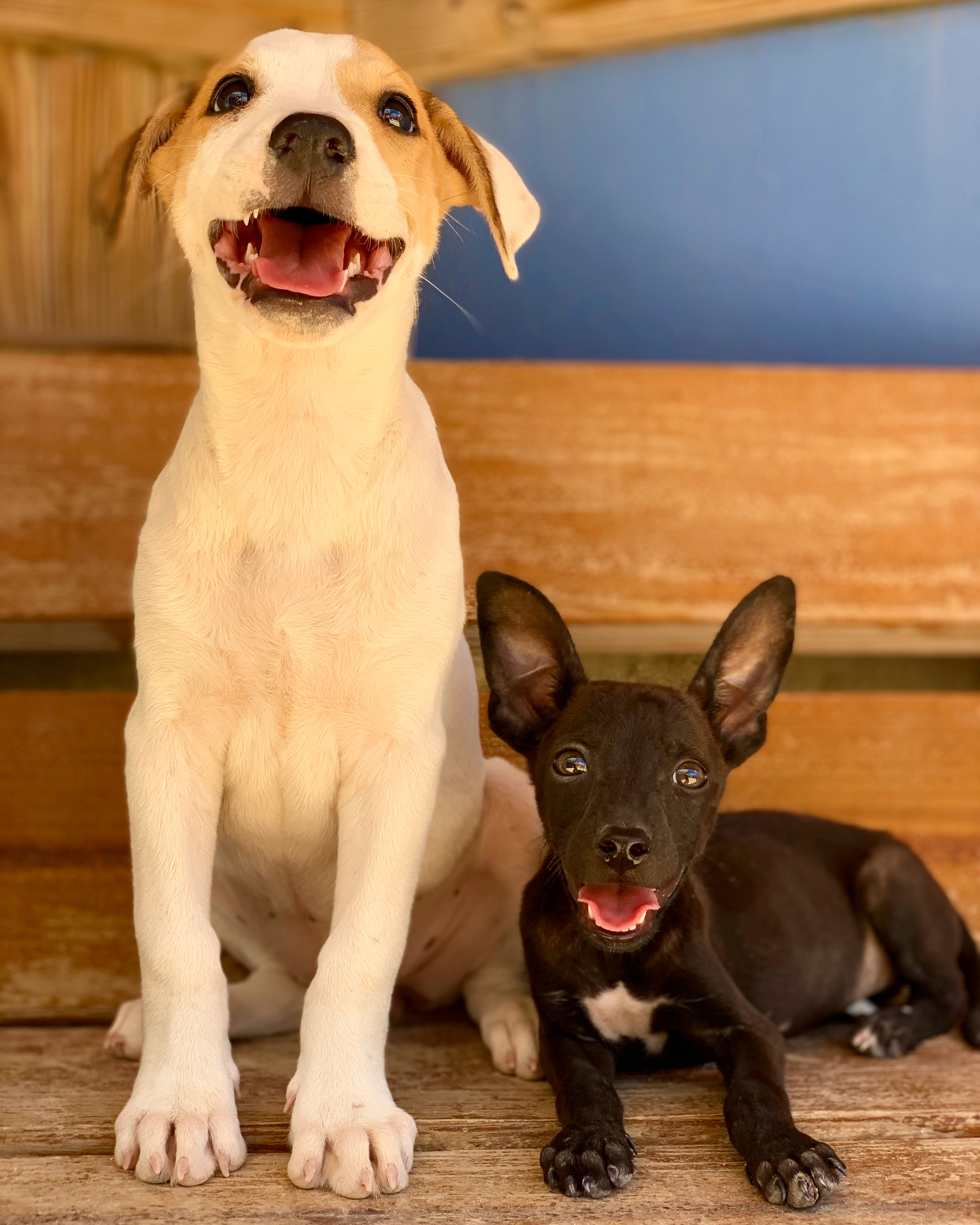 A white and brown puppy sits with a smaller black puppy