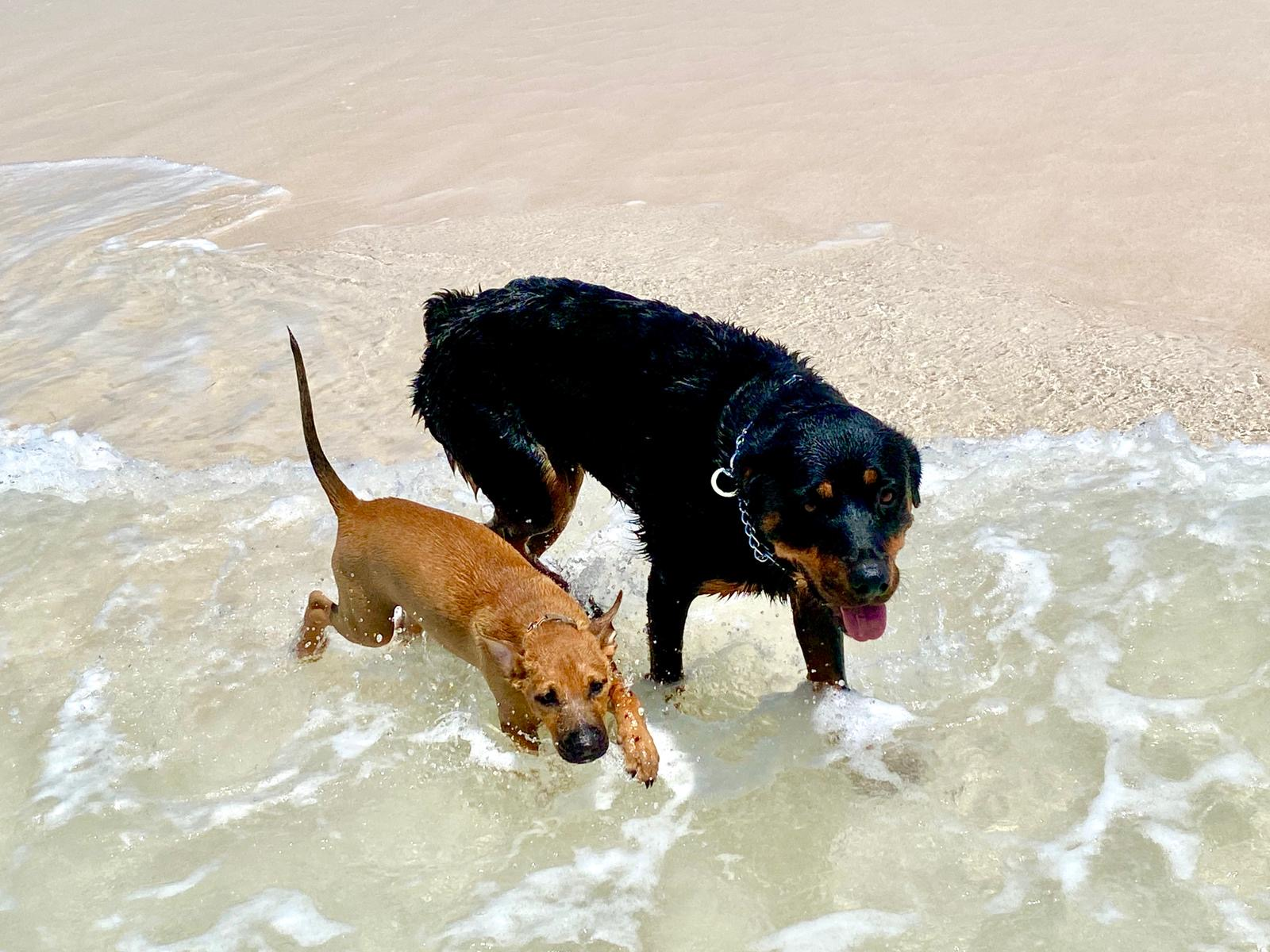 An AARF rescue puppy plays in the ocean with a larger dog