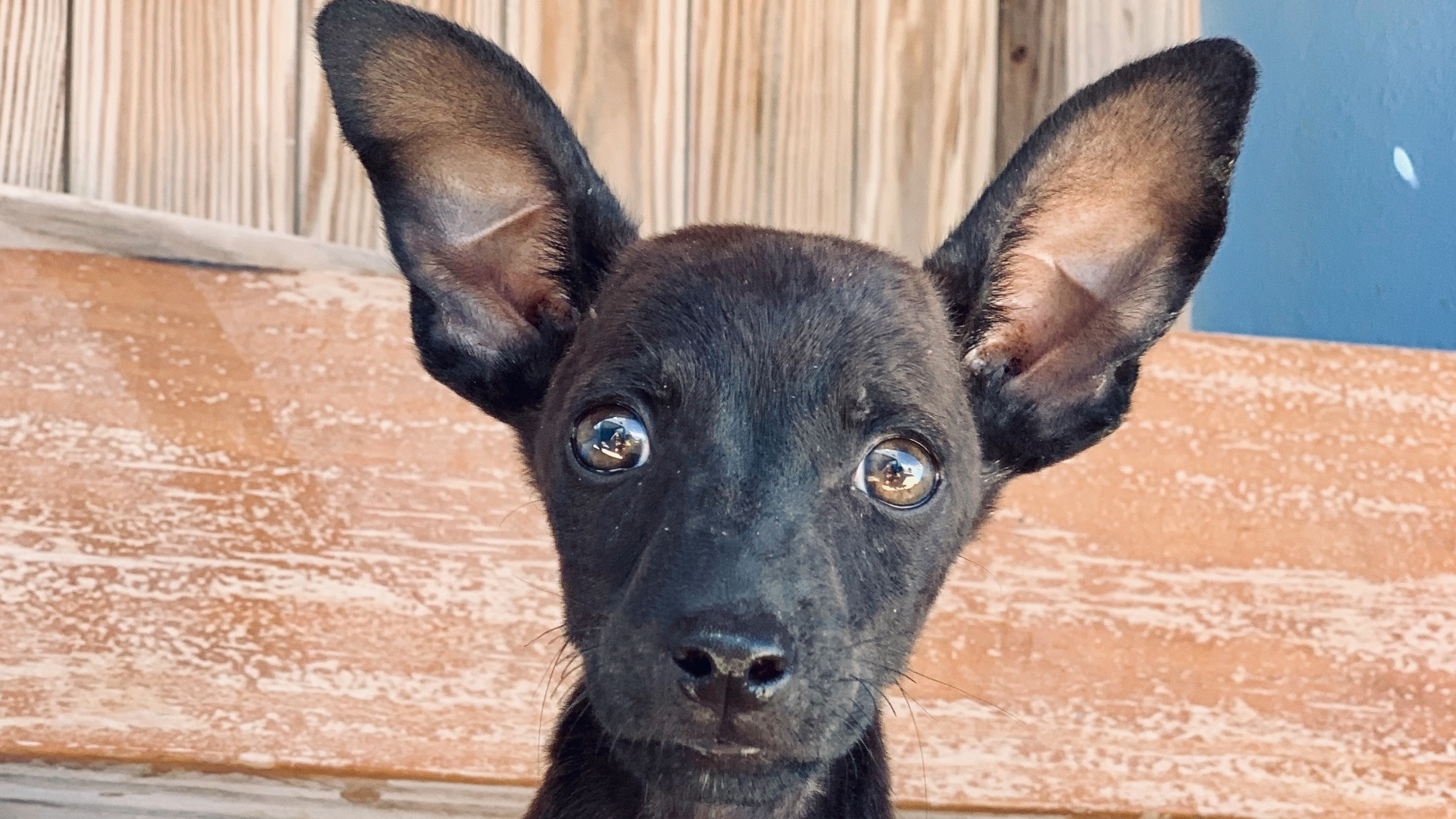 A black pointed-ear puppy
