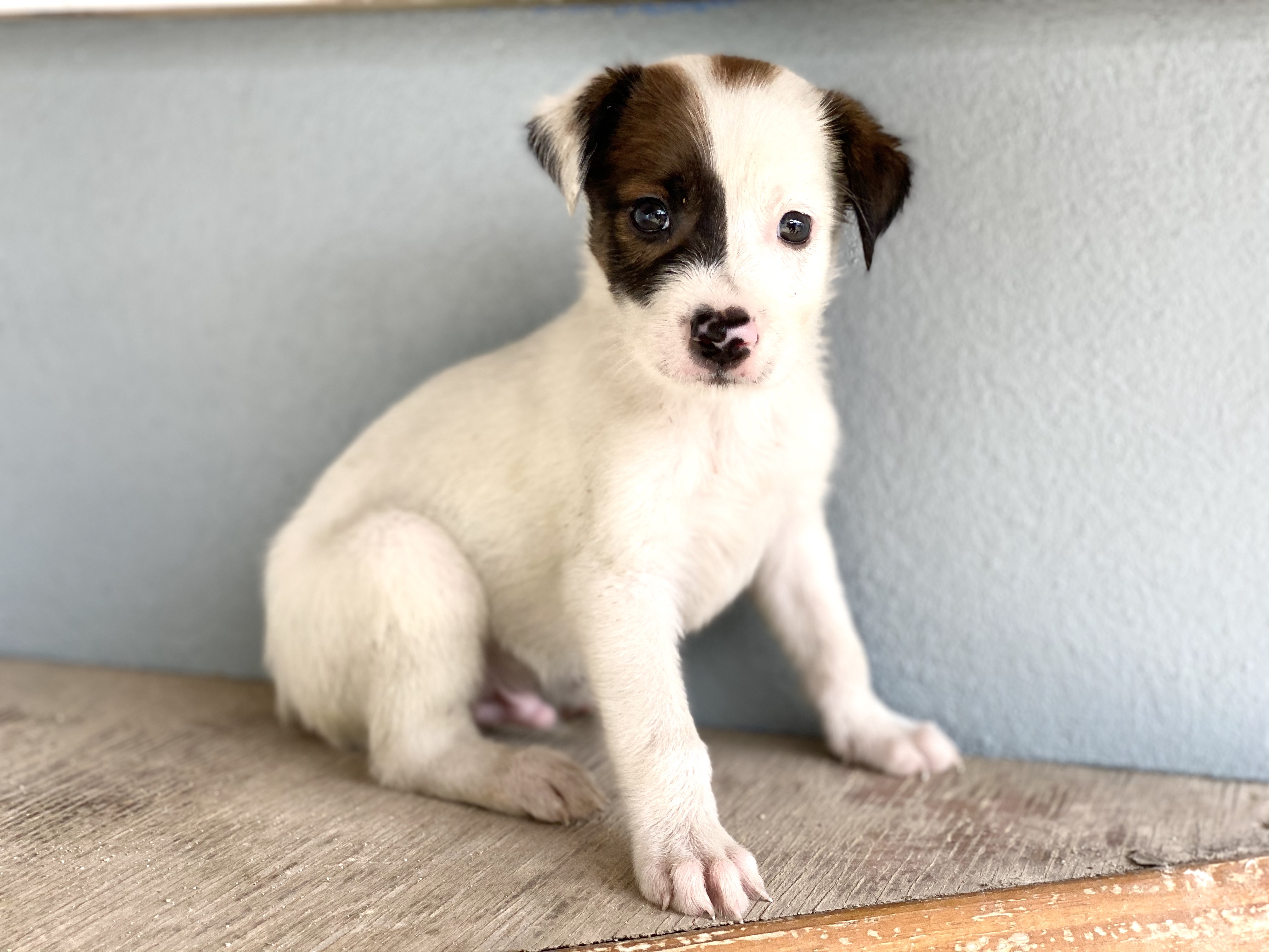 A white puppy at AARF shelter in Anguilla