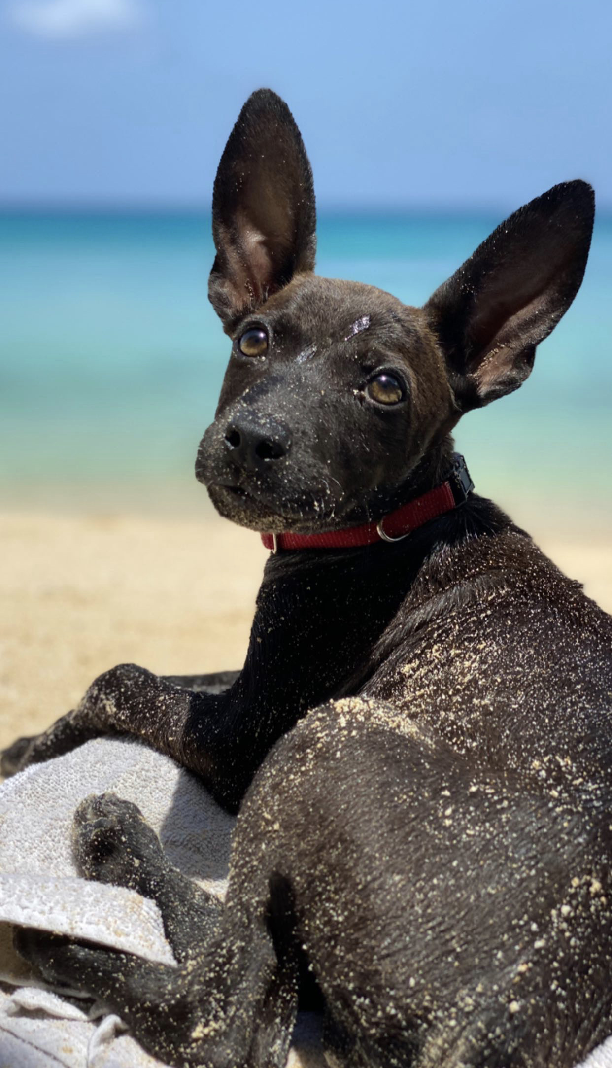 A black dog with pointy ears on the beach in Anguilla