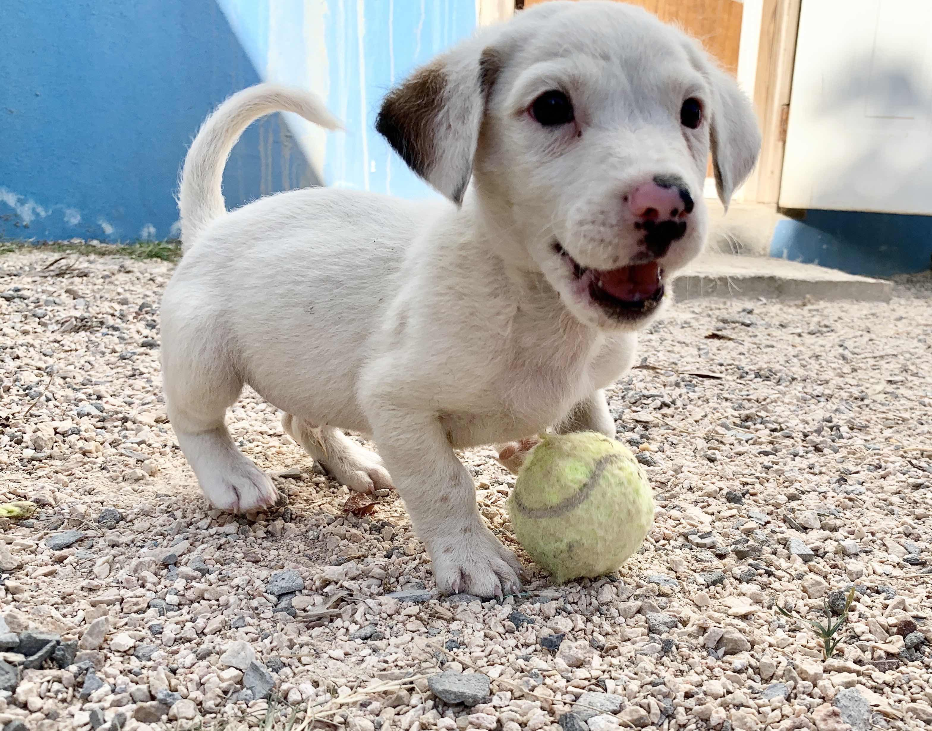 A white Anguilla Long Dog puppy.