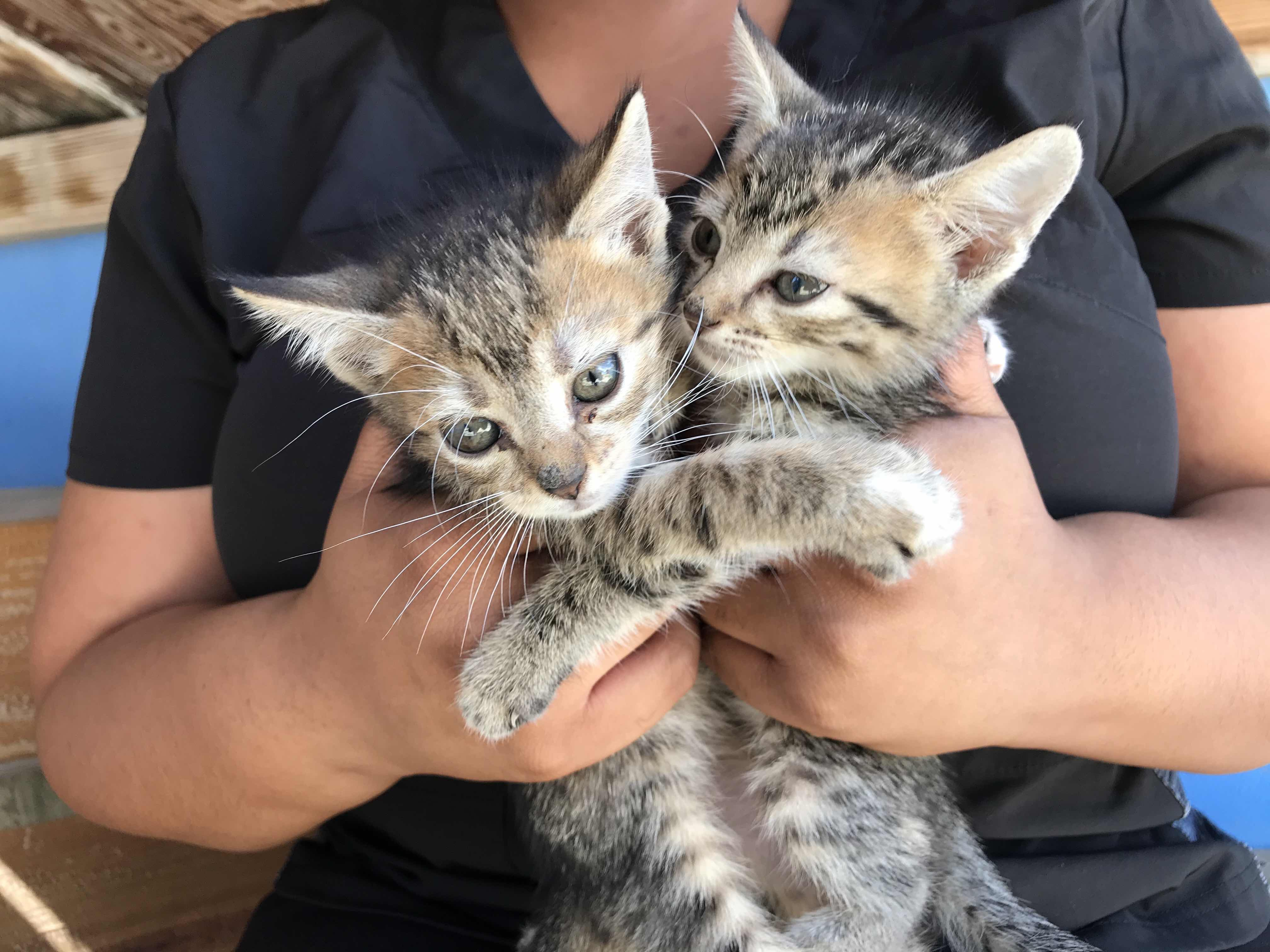Two tabby kittens at the AARF shelter