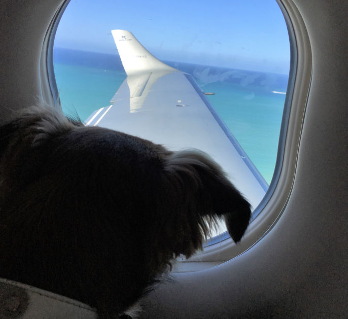 A dog leaving Anguilla looks out the window of a plane